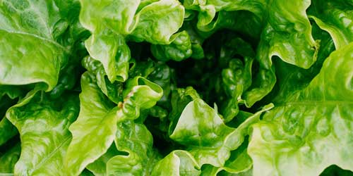 Romaine in at least 15 states voluntarily recalled